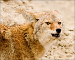 Coyote (CampX) Tags: coyote 400mm canis campx latrans mikewalker f56l backinthecroft