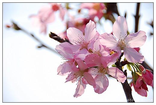 堤防櫻花3