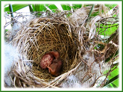 Hooray! The first Yellow-vented Bulbul's chick emerged!