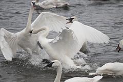 Final_Friday-0470 (CoriJae) Tags: winter minnesota mississippiriver monticello courtship trumpeterswan swanpark richthurman
