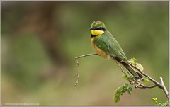 Little Bee-eater (Raymond J Barlow) Tags: africa travel bird art nature birds tanzania nikon tour wildlife workshop teaching tours d300 phototour littlebeeeater 200400vr phototours