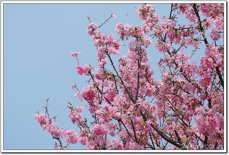 櫻花 (1)