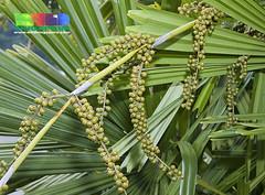Mangrove fan palm (Licuala spinosa) (wildsingapore) Tags: plant nature singapore wildlife spinosa arecaceae wildsingapore licuala berlayar taxonomy:binomial=licualaspinosa