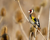 Environmental (Andrew Haynes Wildlife Images) Tags: bird nature rugby wildlife goldfinch warwickshire draycotewater canon7d ajh2008
