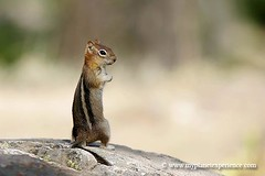 golden-mantled ground squirrel - Grand Teton National Park (My Planet Experience) Tags: portrait usa mountain west america photography us photo nationalpark squirrel photographie unitedstates image pics rocky ground western wyoming parc grandteton cureuil oldwest grandtetonnationalpark amricain amrique tatsunis goldenmantledgroundsquirrel goldenmantled 1001nightsmagiccity mygearandme mygearandmepremium mygearandmebronze mygearandmesilver mygearandmegold mygearandmeplatinum mygearandmediamond blinkagain dblringexcellence tplringexcellence bestofblinkwinners aboveandbeyondlevel4 peregrino27life aboveandbeyondlevel1 flickrstruereflection1 flickrstruereflection2 flickrstruereflection3 flickrstruereflection4 flickrstruereflection5 flickrstruereflection6 flickrstruereflection7 eltringexcellence flickrstruereflectionexcellence trueexcellence1 trueexcellence2 trueexcellence3 allofnatureswildlifelevel1 allofnatureswildlifelevel2 allofnatureswildlifelevel3 allofnatureswildlifelevel4 allofnatureswildlifelevel5 allofnatureswildlifelevel8 allofnatureswildlifelevel6 allofnatureswildlifelevel7 allofnatureswildlifelevel9 aboveandbeyondlevel2 aboveandbeyondlevel3 allofnatureswildlifelevel10