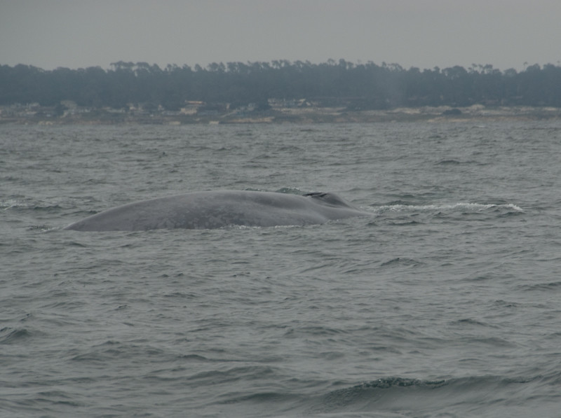 Blue Wale in Waters off Pebble Beach
