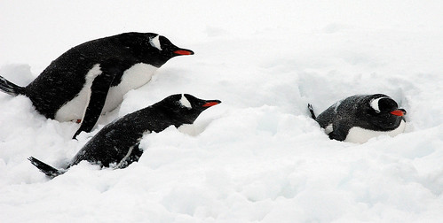 Gentoo penguins protecting themselves from a 40 knts blizzard wind. by Jo Sze
