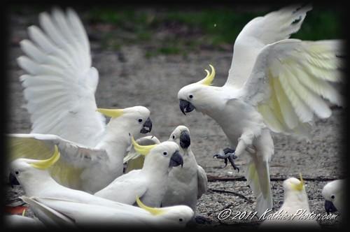 75-365 Squabbling Cockatoos