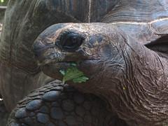 Giant Tortoise in Zanzibar
