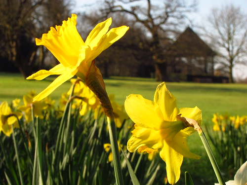Daffodils in Golders Hill Park