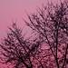 pink dusk - Scott Dunwoodie