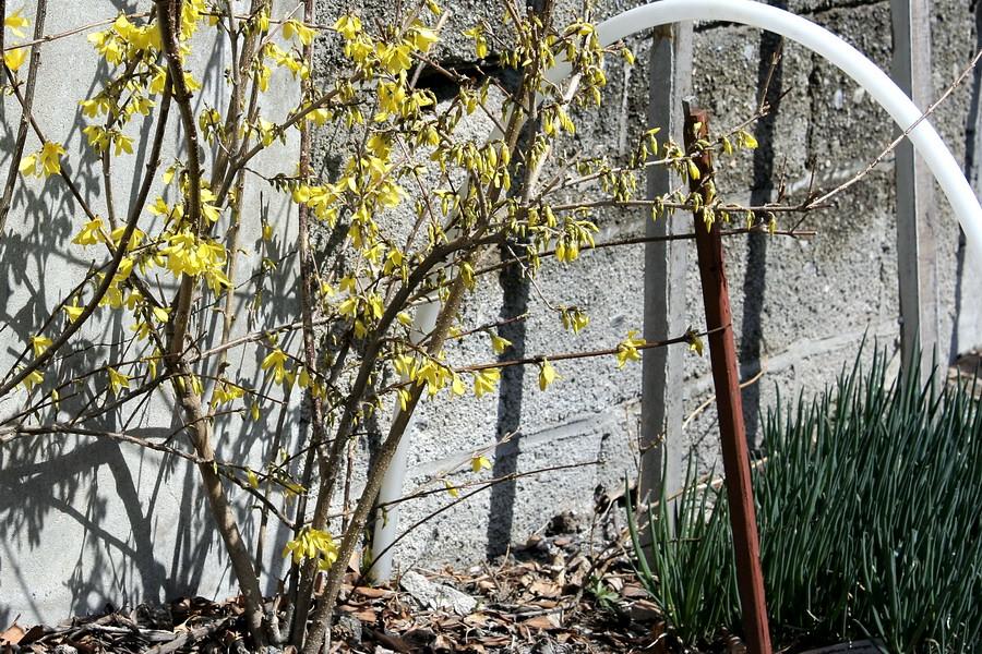 Forsythia and Allium