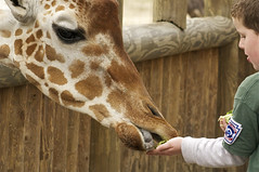 Two tongue transaction (ucumari) Tags: sc south columbia carolina giraffe february riverbankszoo 2011 ucumariphotography