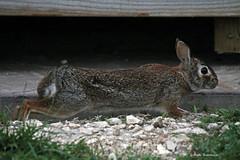 Bunny stretching (bunnyfrogs) Tags: wild rabbit bunny animal tongue texas tx wildlife stretch nwr anahuac
