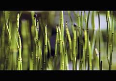 water horsetail (Wim Koopman) Tags: light holland water netherlands dutch lines garden photography photo bokeh stock horsetail stockphoto stockphotography equisetum waterplant goudriaan wpk fluviatile holpijp