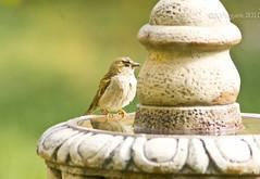 That guy with the camera follows me everywhere! (Palenquero Quercus agrifolia) Tags: bird birds garden backyard wildlife ave pajaro tamronsp300mmf28