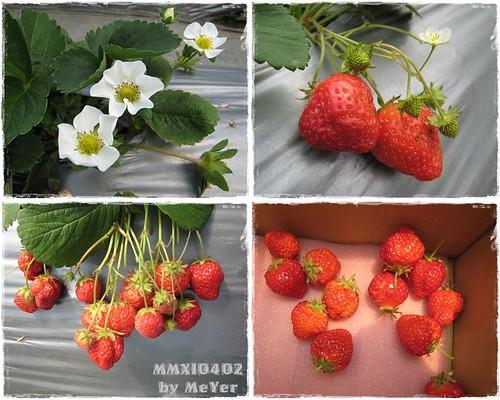 B1000402_採草莓_2y6m25d_04.JPG