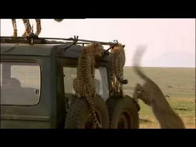 animals_attacking_cars_13
