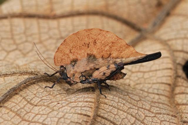 Dolatettix sp. or Hymenotes sp? (Tetrigidae: Cladonotinae)