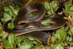 Lycondonmorphus rufulus - Brown Water Snake. (Tyrone Ping) Tags: lycondonmorphus rufulus brown water snake south africa nonvenomous canon 7d 100mmmacrof28 mt24ex tyroneping wwwtyronepingcoza photography herps wildlife herping animals nature close up
