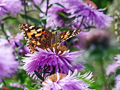 Painted Lady (eric robb niven) Tags: ericrobbniven scotland painted lady summerwatch macro autumn autumnwatch dundee flowers insects