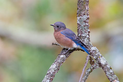 RGP_9035-3 (R Goff) Tags: blue bird bluebird canon1dx canon