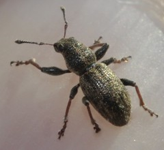 Sitona regensteinensis (Curculionidae) (BSCG (Badenoch and Strathspey Conservation Group)) Tags: acm beetle
