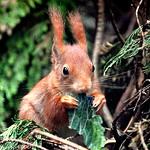 [[[red squirrel]]]