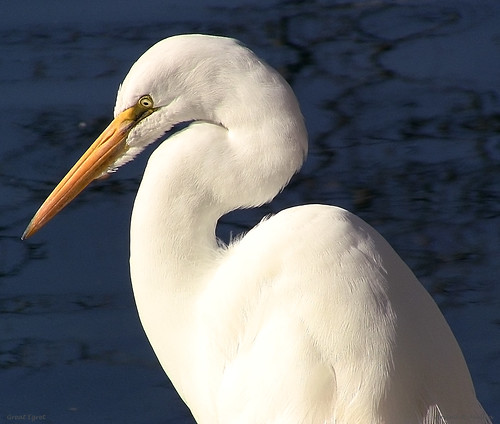 Great Egret 2, San Ramon, California, - Arvind_M