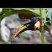 Tucan (fiery-billed aracari) - Suital Lodge - Costa Rica