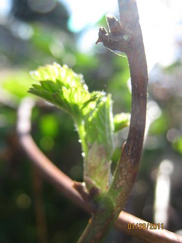 boysenberry first leaf