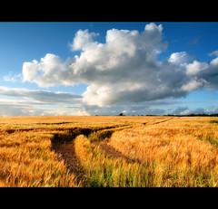 Sunny wheat - Explored (ViewsOfIreland.com) Tags: blue sky sun field landscape farm wheat farming sunny bluesky agriculture