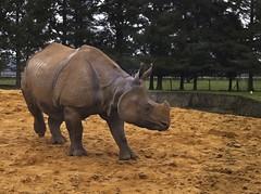 Lovely Big Rhino!