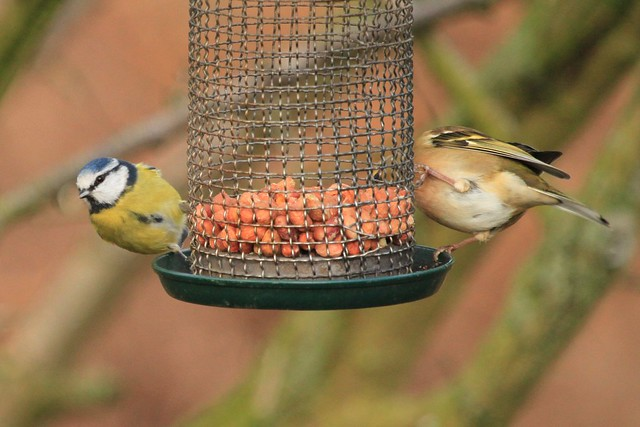 BlueTit and Chaffinch