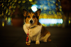Happy Lunar New Year! (moaan) Tags: leica light dog digital 50mm corgi dof bokeh chinesenewyear f10 illuminated kobe noctilux welshcorgi lunarnewyear m9 goodluckcharm 2011 pochiko leicanoctilux50mmf10 leicam9 uitata gettyimagesjapanq1 gettyimagesjapanq2