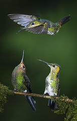 Occupied (csabatokolyi) Tags: costarica hummingbird threesome quarrel greencrownedbrilliant heliodoxajacula slbdefendingterritory nikkor300mm28afsvr zldsapksbrillinskolibri