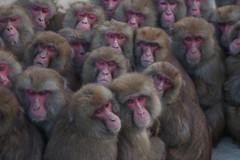 Saru Dango Japanese caption :  (Masashi Mochida) Tags: winter baby monkey child awaji naturesfinest coth supershot specanimal abigfave impressedbeauty rubyphotographer
