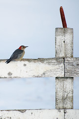 Tough Days for the Birds (Macomb Paynes) Tags: winter red snow bird woodpecker ground covered headed