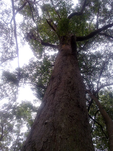 Rainforest Eucalypt
