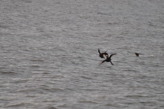 American Scoters #2, Cape May, NJ (Jim_AC) Tags: fall birds flying ducks capemay anatidae anseriformes scoters
