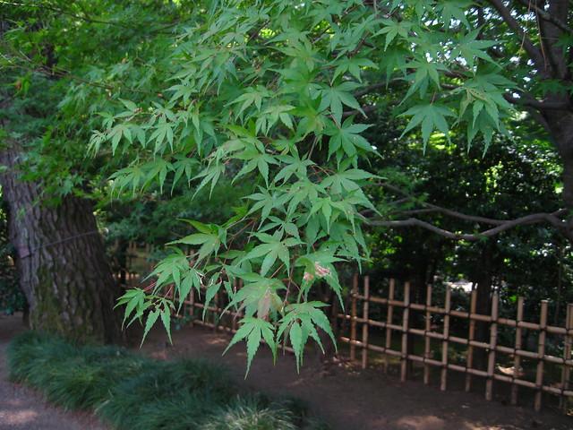 もみじの葉のフリー写真素材