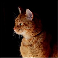 Broer en profile (Cajaflez) Tags: orange pet cute cat ginger kat chat profile katze gatto huisdier kater profiel rodekater cc800 cc400 cc300 cc200 cc100 cc500 cc600 kissablekat bestofcats kittyschoice catmoments 100commentgroup saariysqualitypictures mygearandme mygearandmepremium mygearandmebronze mygearandmesilver mygearandmegold mygearandmeplatinum mygearandmediamond c700c