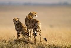 Spotty cats (Christine Lamberth) Tags: africa travel grass fur adult kenya sub hunting mother location christine spots species cheetah plains tails protected masaimara specanimal lamberth felidaecats animalkingdomelite
