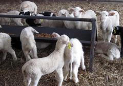 Dairy lambs