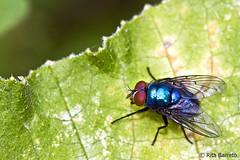 Mosca-varejeira (Rita Barreto) Tags: macro closeup natureza inseto mosca varejeira moscavarejeira