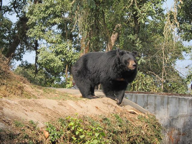 Bengal bear