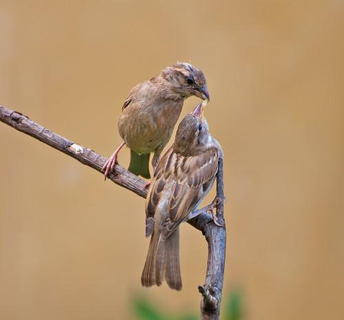 Pardal (Passer domesticus)