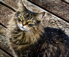 Shouldn't Winter Be Over By Now? (BakkoBrats) Tags: snow cold cat outside feline explore tj annoyed blacktabby mainecoonish 201102 20110213 explore34720110219