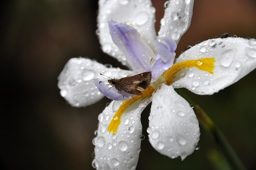 Butterfly on an iris flower in the rain