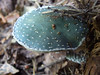 Stropharia aeruginosa DSCF3365_edited (aorg1961 stalked by Suipixel) Tags: las tag3 taggedout tag2 tag1 polska fungi polen pilze wald grzyby pilz stropharia grzyb grünspanträuschling strophariaaeruginosa psychoterror träuschling wólkałękawska pierścieniak pierścieniakgrynszpanowy